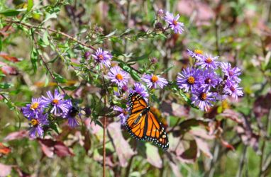Monarch with Asters - 2013 by insanity-pillz