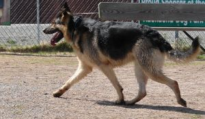 German Shepherd Dog 2 by FantasyStock