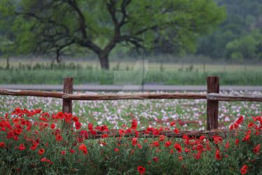 Wildseed Farm  - Poppy Heaven by tiffanylayne