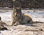 Wolf in Repose 2 by hamletspants
