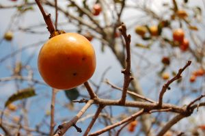 persimmon 4 by FireFlyGal