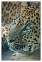 African Leopard 6 by hoboinaschoolbus