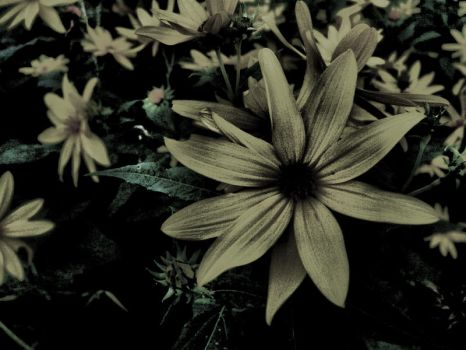 Starflowers - alternate by angelicque