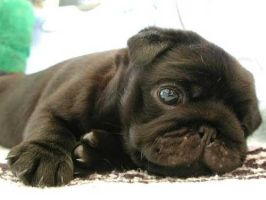 Pug Puppy cutness by demideviant