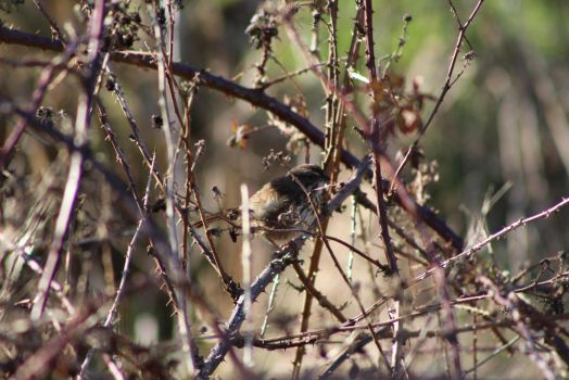 Song sparrow picking dried blackberries by coldstares