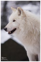 Arctic Wolf by W0LLE
