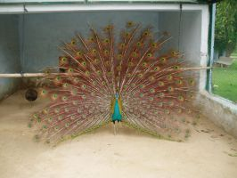 Peacock by zamir