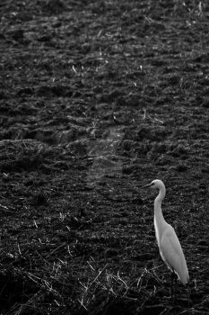 A Great Egret by TheArtIKnow