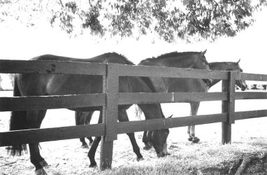 More Kentucky Horses by fingers2002