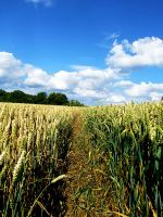 Corn Pathway by Teakster