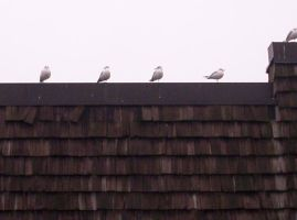 Seagulls on a Roof by Zsy