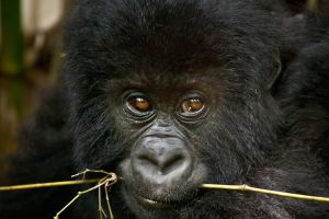Mountain Gorilla 14 by catman-suha