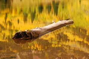 Swimming in Gold by ErikKeithPhotography