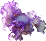 Light Purple Iris Cluster by Thy-Darkest-Hour