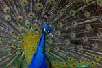 The Peacock by Spid4
