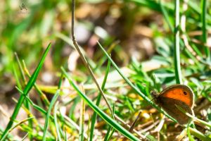 Almost there - Butterfly Coenonympha pamphilus by VitoDesArts