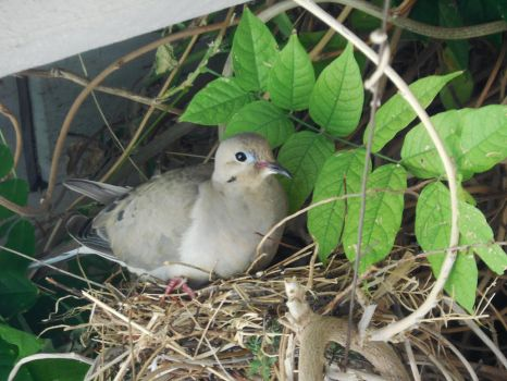 Mother Dove in Nest by Dogman15