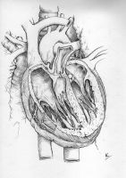 Human Heart by froggywoggy11
