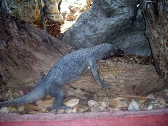 monitor lizard by turtledove-stock