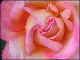 PINK AND YELLOW ROSE by THOM-B-FOTO