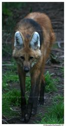 Maned Wolf Approaching by TVD-Photography