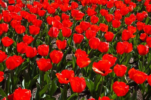 Red Tulips by daniellepowell82
