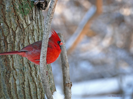Mr Cardinal by Mogrianne
