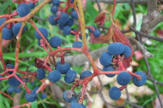 blueberries in fall by amalym