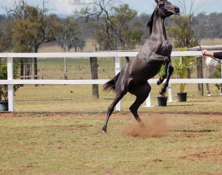 GE Arab filly grey big rear leap ears cropped out by Chunga-Stock