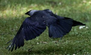 Jackdaw in the air 1 by MJFOTO