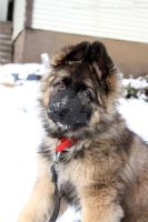 German shepherd puppy by roxmohr