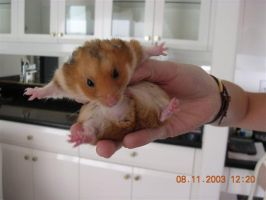 Bungee the hamster by Yushi
