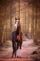Akhal Teke by Colourize