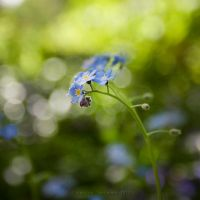 Forget Me Not by JaclynTanemura