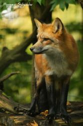 Red kitsune by MorganeS-Photographe