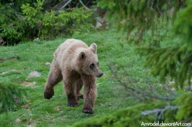 Young Brown Bear by amrodel