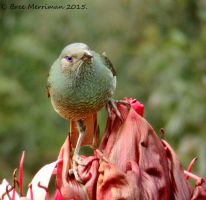 Female BowerBird I by BreeSpawn