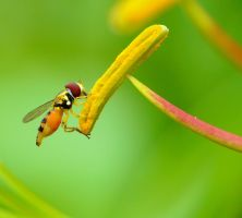 Hover fly by duggiehoo