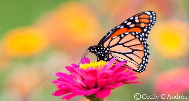 Monarch Butterfly by CecilyAndreuArtwork