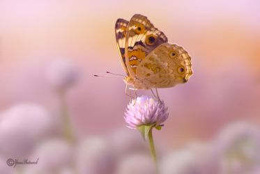 Globe Amaranth with butterfly by philatmeartwork