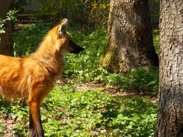 Maned Wolf - 7 by Delragon