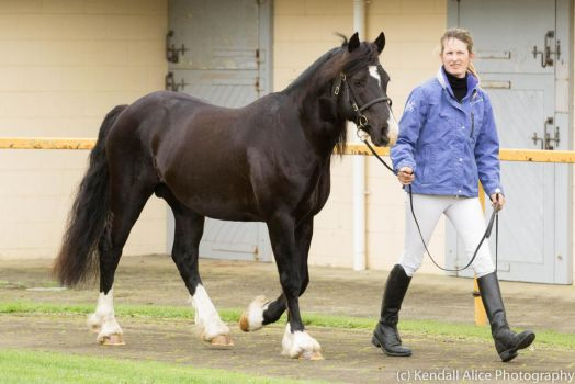 Welsh stallion stock by Valkyrie-Stock