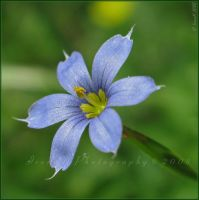 Blue-eyed Grass by Irena-N-Photography