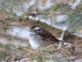 White-throated Sparrow by bydandphotography