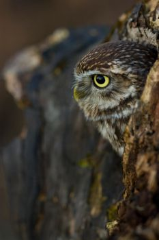 Hidden little owl by AngiWallace