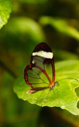 Transparent Butterfly by sweetlave