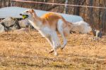 Golden borzoi by riipi