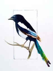 Small Black Billed Magpie by carowi