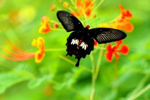 Blood-Red Butterfly by AjDev