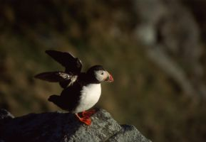 puffin by bentota-stock